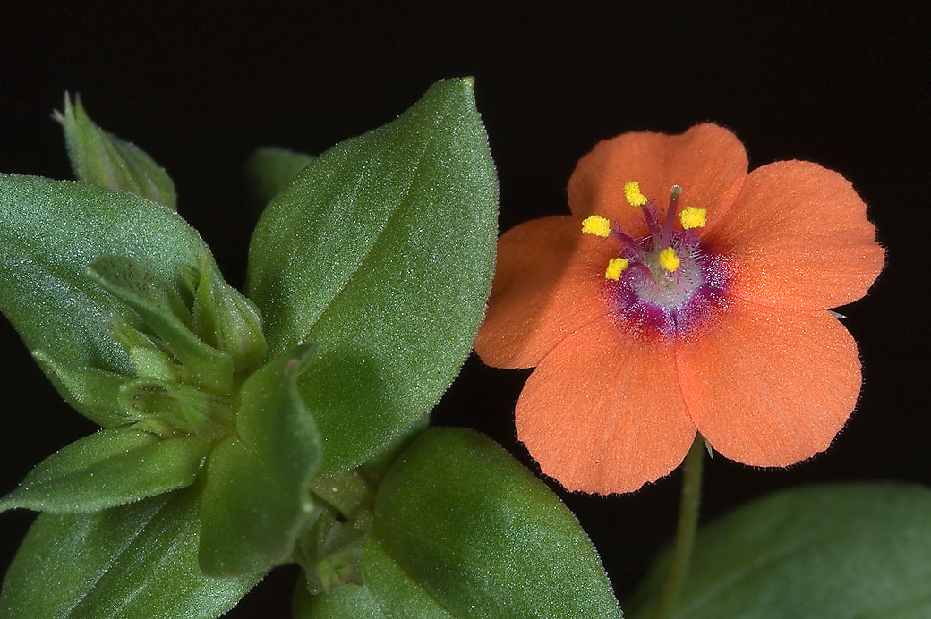 Red flower of Scarlet pimpernel (Anagallis...Thicket park on Sundew Trail. Texas