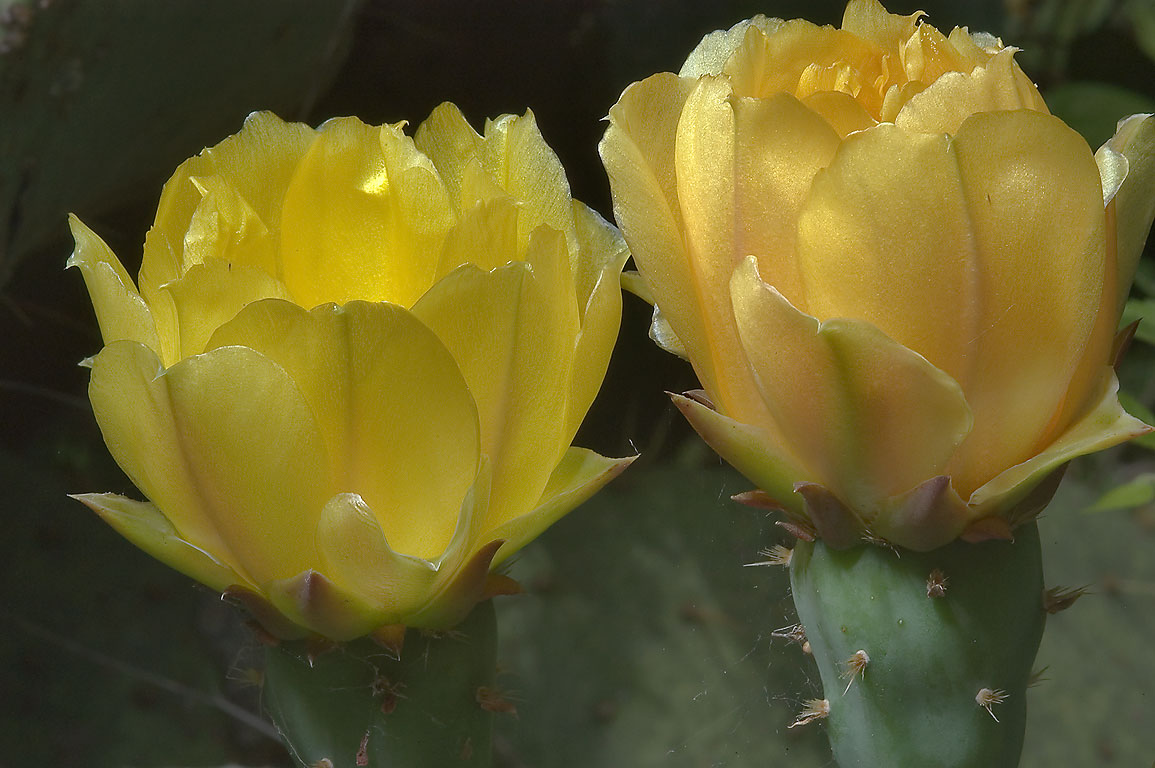 Blooming Prickly pears (Opuntia) cactus in TAMU...M University. College Station, Texas