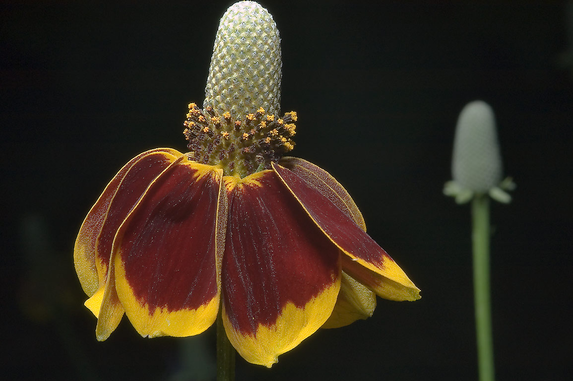 Mexican hat flowers (Ratibida columnifera) in...M University. College Station, Texas