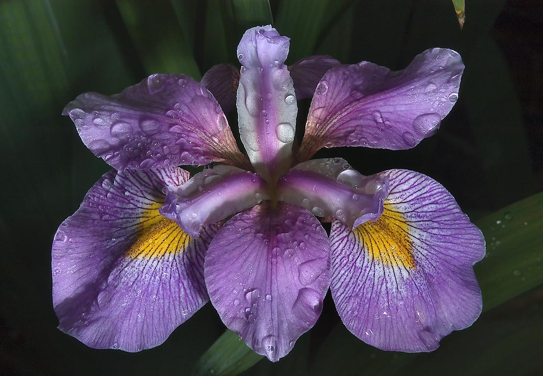 Sprinkled iris in Mercer Arboretum and Botanical Gardens. Humble (Houston area), Texas