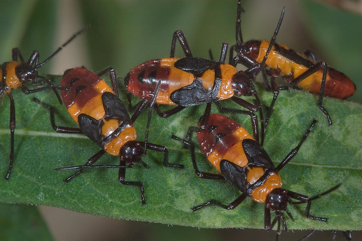 Milkweed bug (Oncopeltus) nymphs in TAMU Holistic...M University. College Station, Texas
