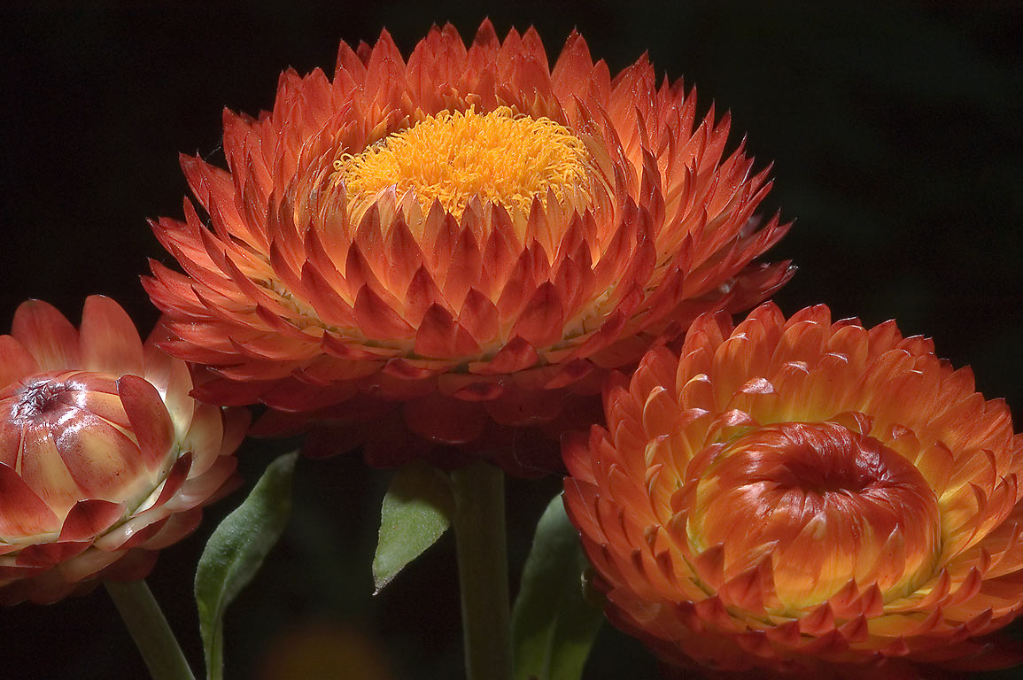 Orange bracted strawflower (everlasting...M University. College Station, Texas