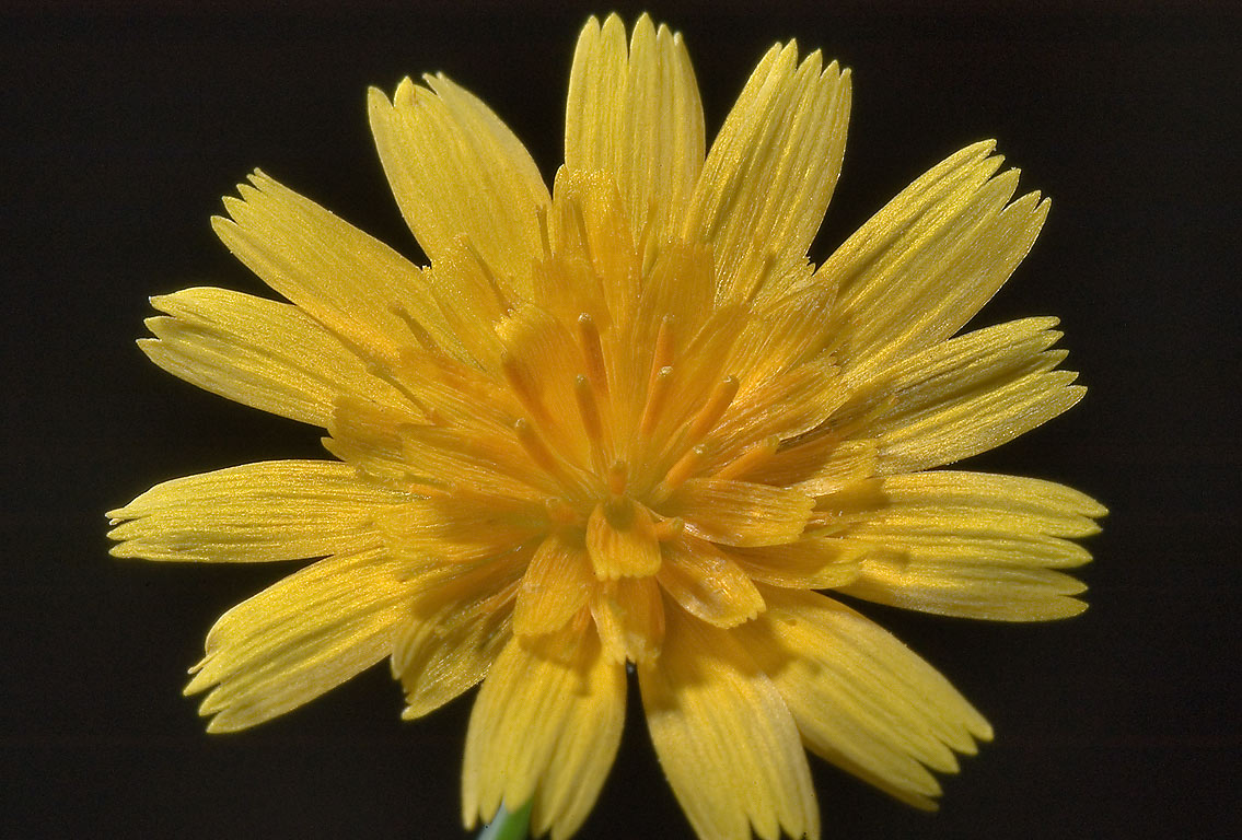 Dwarf dandelion (Krigia occidentalis) in...State Historic Site. Washington, Texas