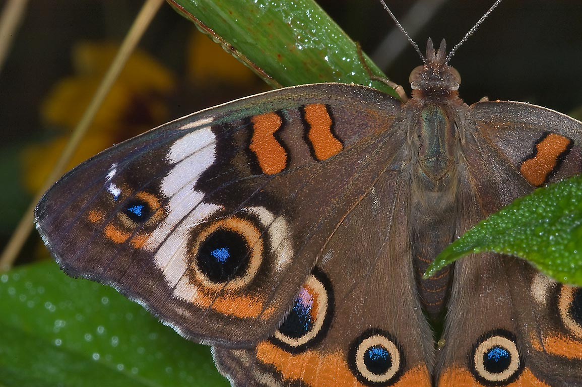 Common Buckeye butterfly (Junonia coenia) in...State Historic Site. Washington, Texas