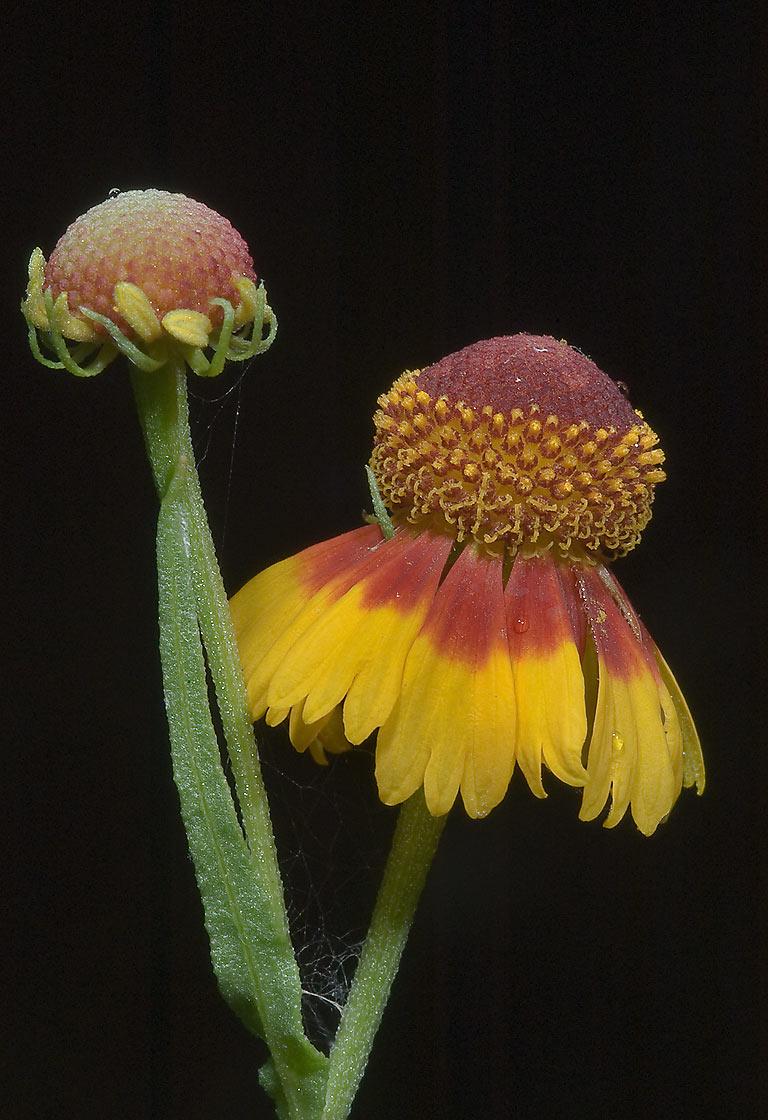 Pretty sneezeweed (Helenium elegans) with down...Hollow Lake. Belton-Killeen, Texas