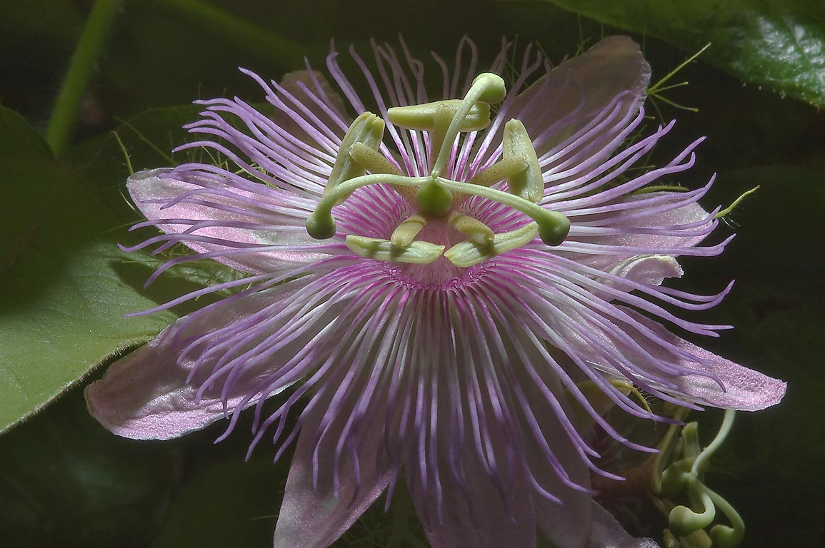 Pale pink flower of passiflora (Passion flower...M University. College Station, Texas