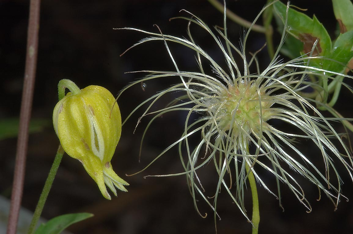 Yellow clematis with seeds in TAMU Horticultural...M University. College Station, Texas