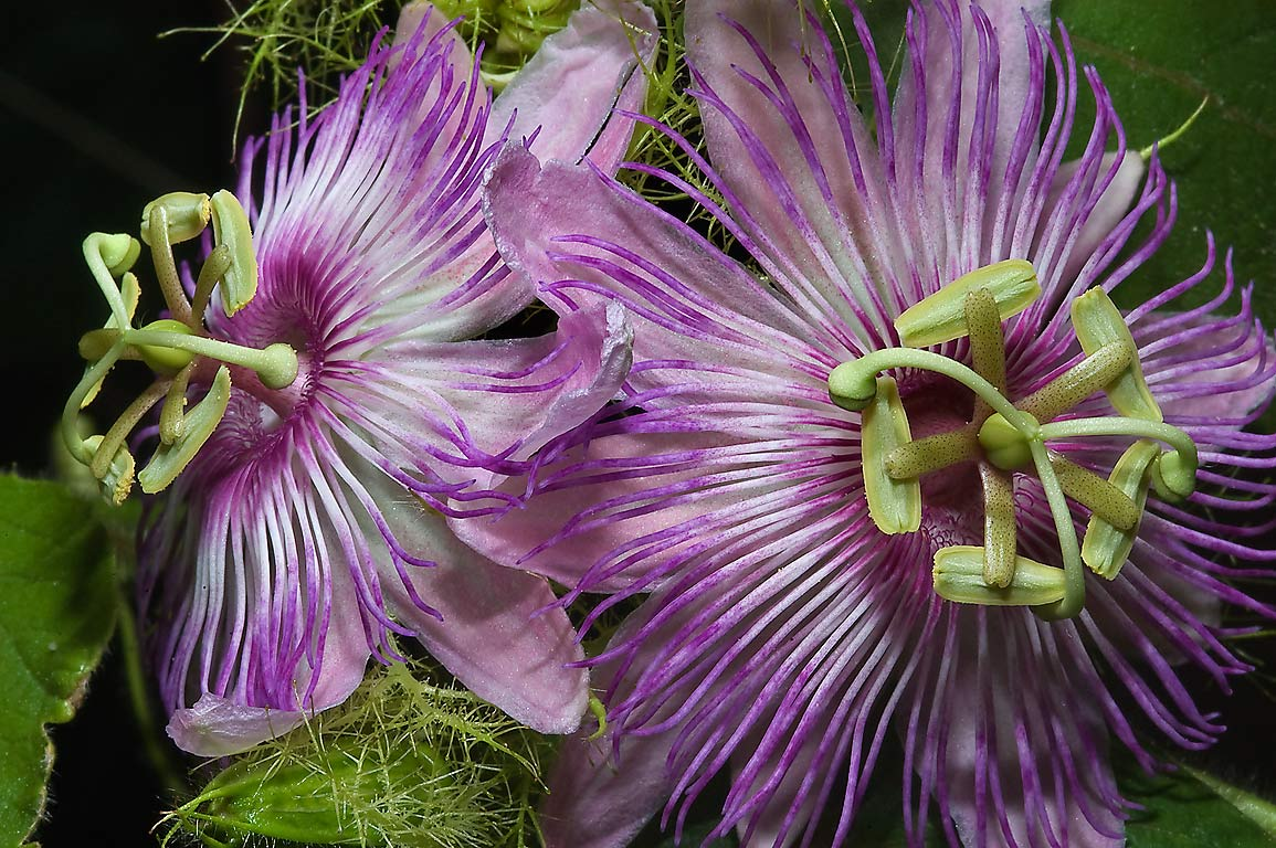 Pink passion flowers (passiflora) in TAMU...M University. College Station, Texas