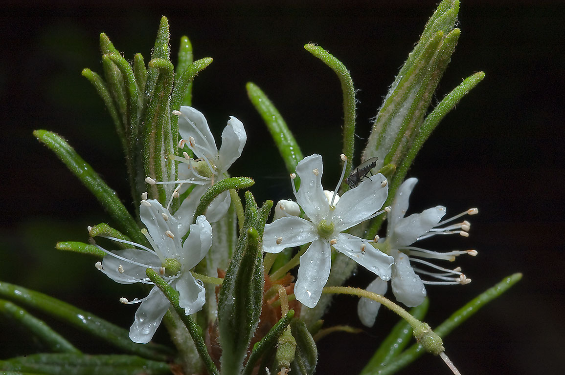 Young shoots of Labrador Tea (Ledum groenlandicum...miles north from St.Petersburg. Russia