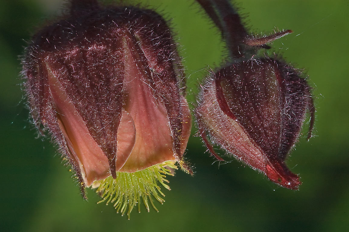 Water Avens (Geum rivale, Russian name Gravilat...south from St.Petersburg. Russia