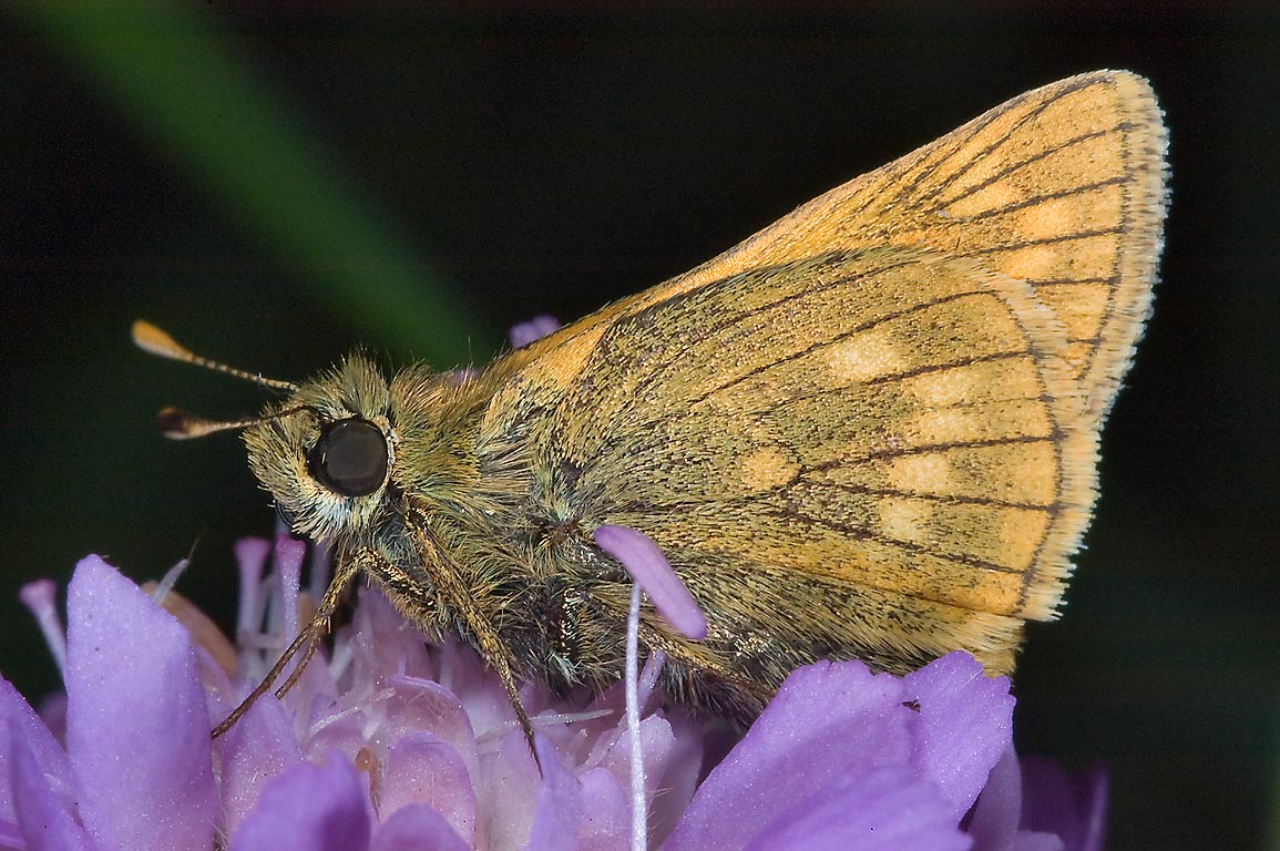 Large Skipper butterfly (Ochlodes sylvanus) east...miles north from St.Petersburg. Russia
