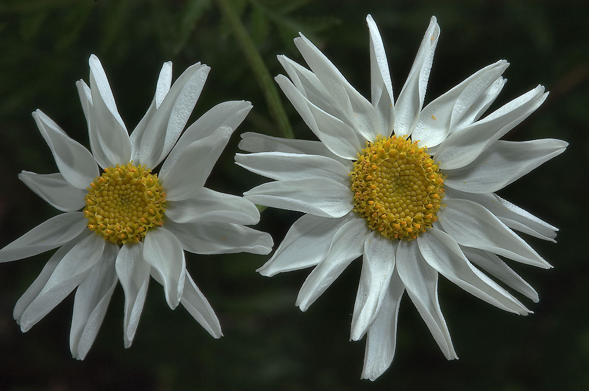 Daisies in Botanic Gardens of Komarov Botanical Institute. St.Petersburg, Russia