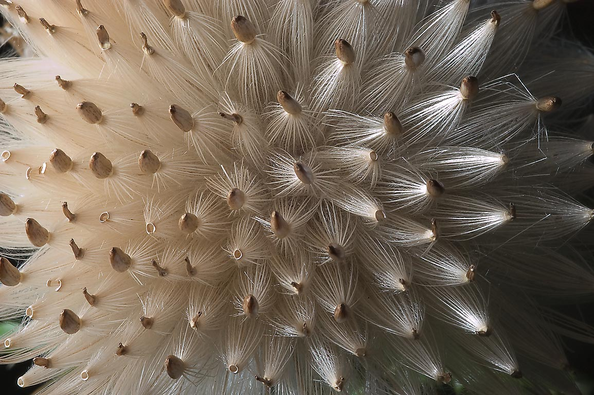"Close up of ""exploding"" seeds of a thistle in Lick Creek Park. College Station, Texas"