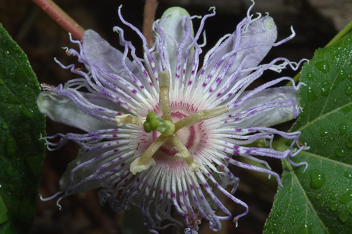 Wild passion flower (passiflora) on Iron Bridge...Creek Park. College Station, Texas