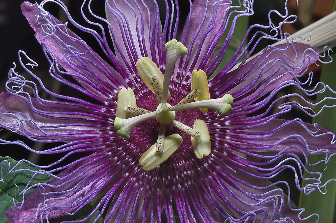 Purple passion flower (passiflora) in Antique Rose Emporium. Independence, Texas
