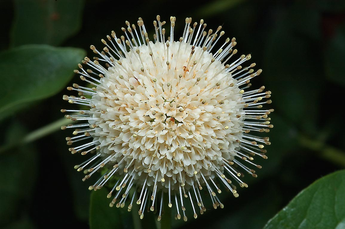 Spherical flower head of buttonbush in Antique Rose Emporium. Independence, Texas