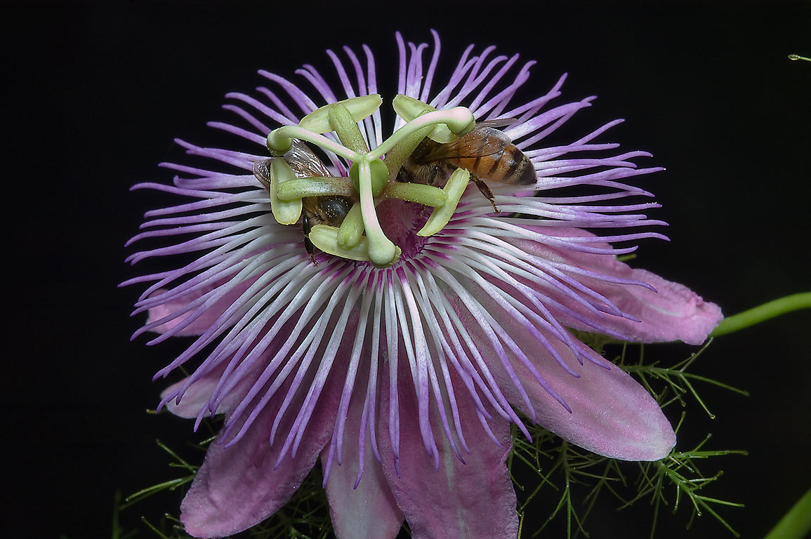 Hanging passion flower (Passiflora) in TAMU...M University. College Station, Texas
