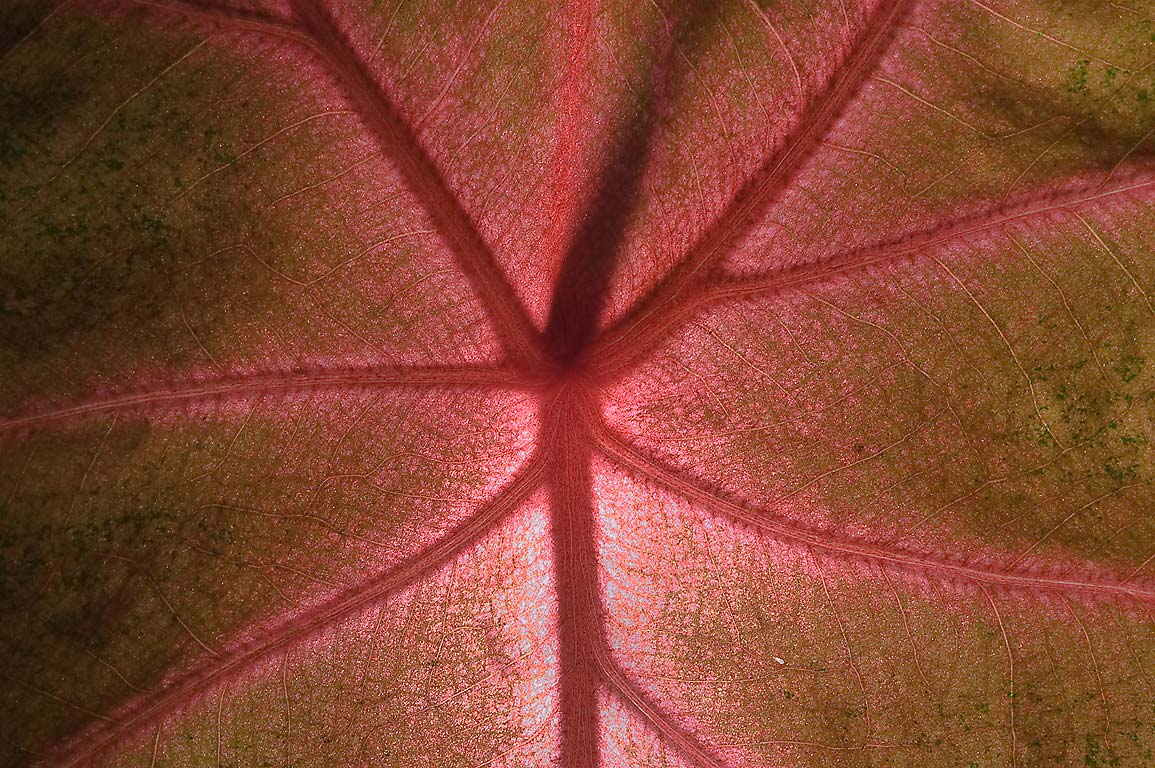 Back lit leaf of caladium in Mercer Arboretum and...Gardens. Humble (Houston area), Texas