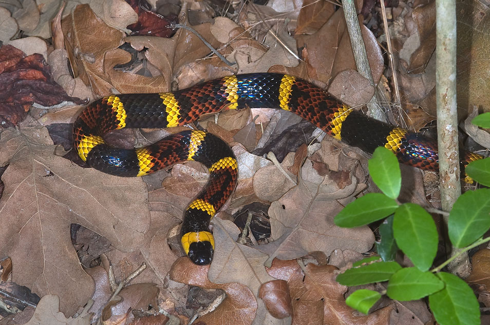 Eastern coral snake (Micrurus fulvius) hiding in...Creek Park. College Station, Texas