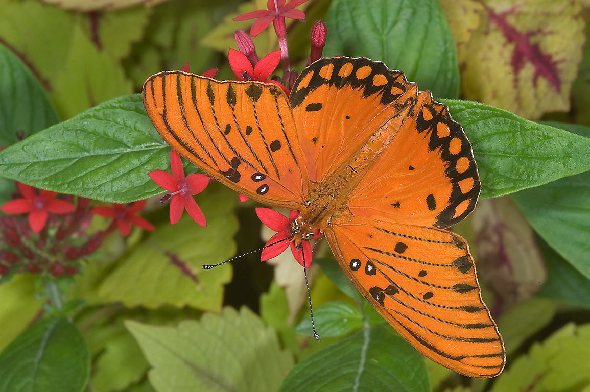 Gulf Fritillary butterfly on Pentas lanceolata...Gardens. Humble (Houston area), Texas