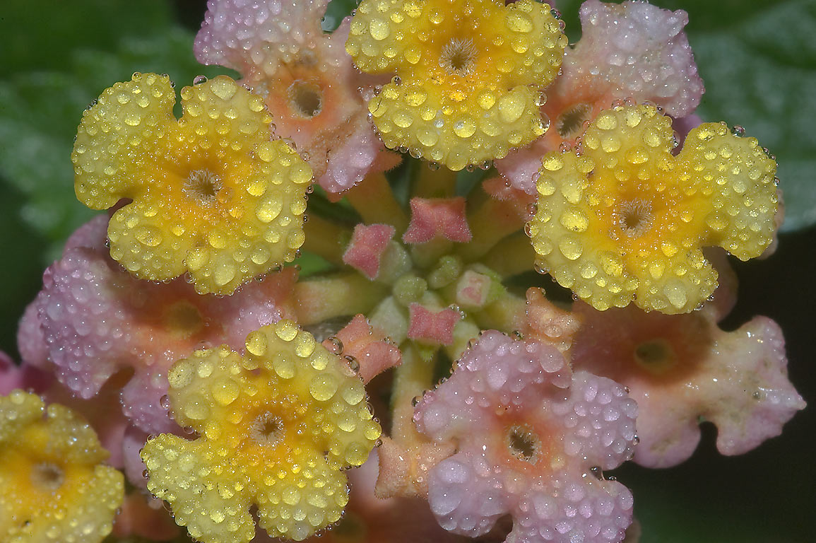 Lantana flowers in dew in TAMU Horticultural...M University. College Station, Texas
