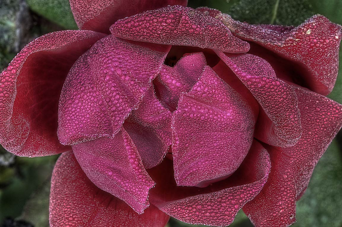 Dark red rose in dew in TAMU Horticultural...M University. College Station, Texas