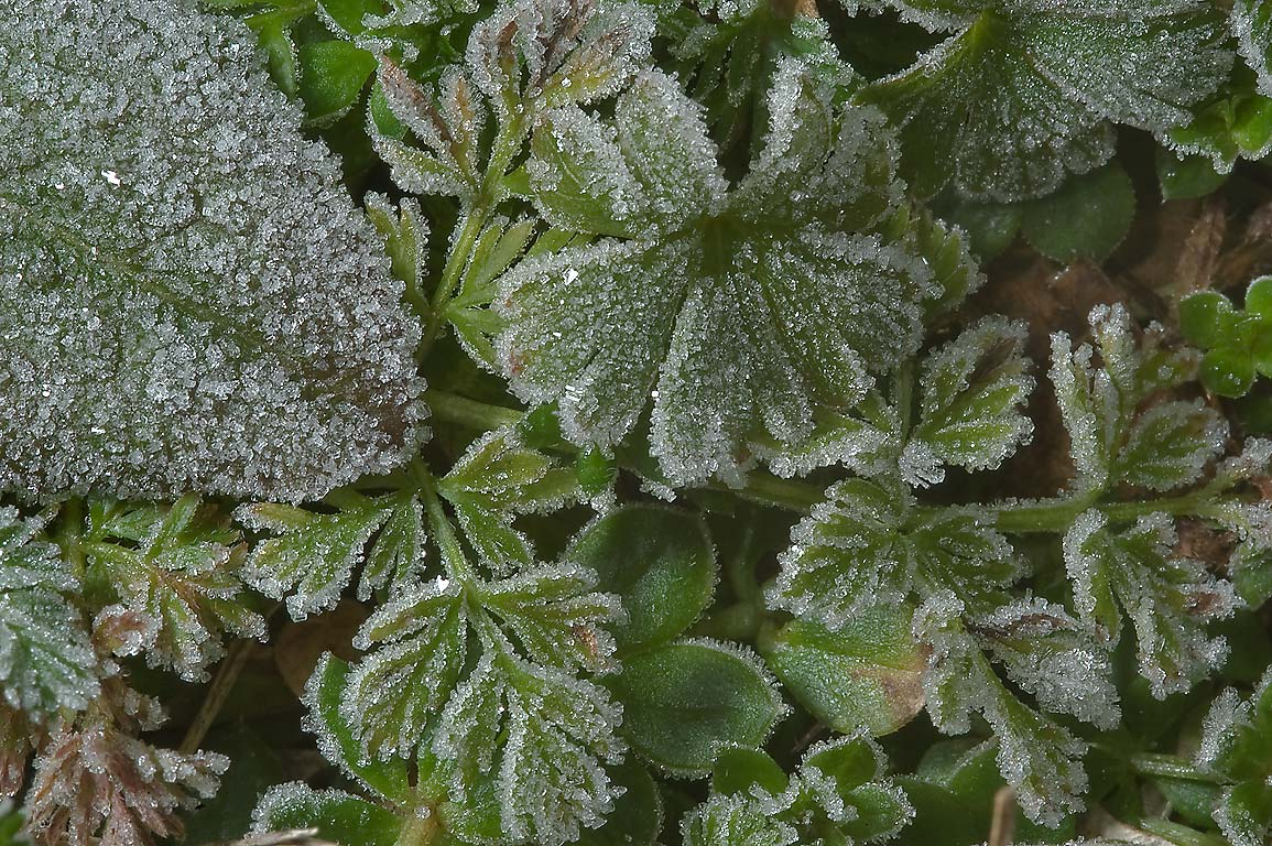 Freeze on lawn plants in TAMU Horticultural...M University. College Station, Texas