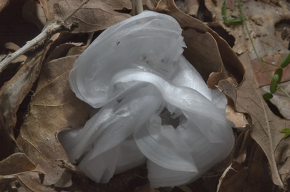 Frostweed (Verbesina virginica) after hard freeze...from stem. College Station, Texas