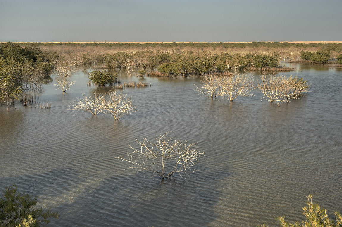 Mangroves in salt marshes, view from causeway to...Jazirat Bin Ghanim). Al Khor, Qatar