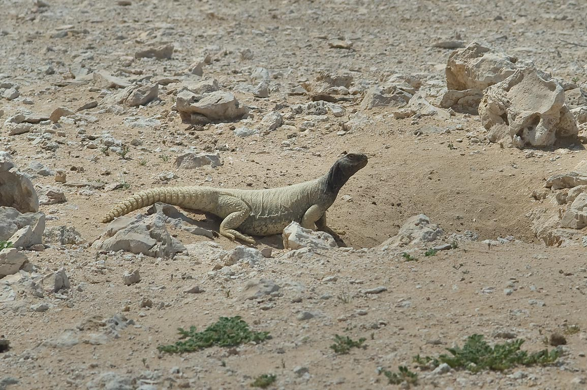 Sunning dhub (spiny-tailed agama, Egyptian spiny...40 miles south-west from Doha, Qatar