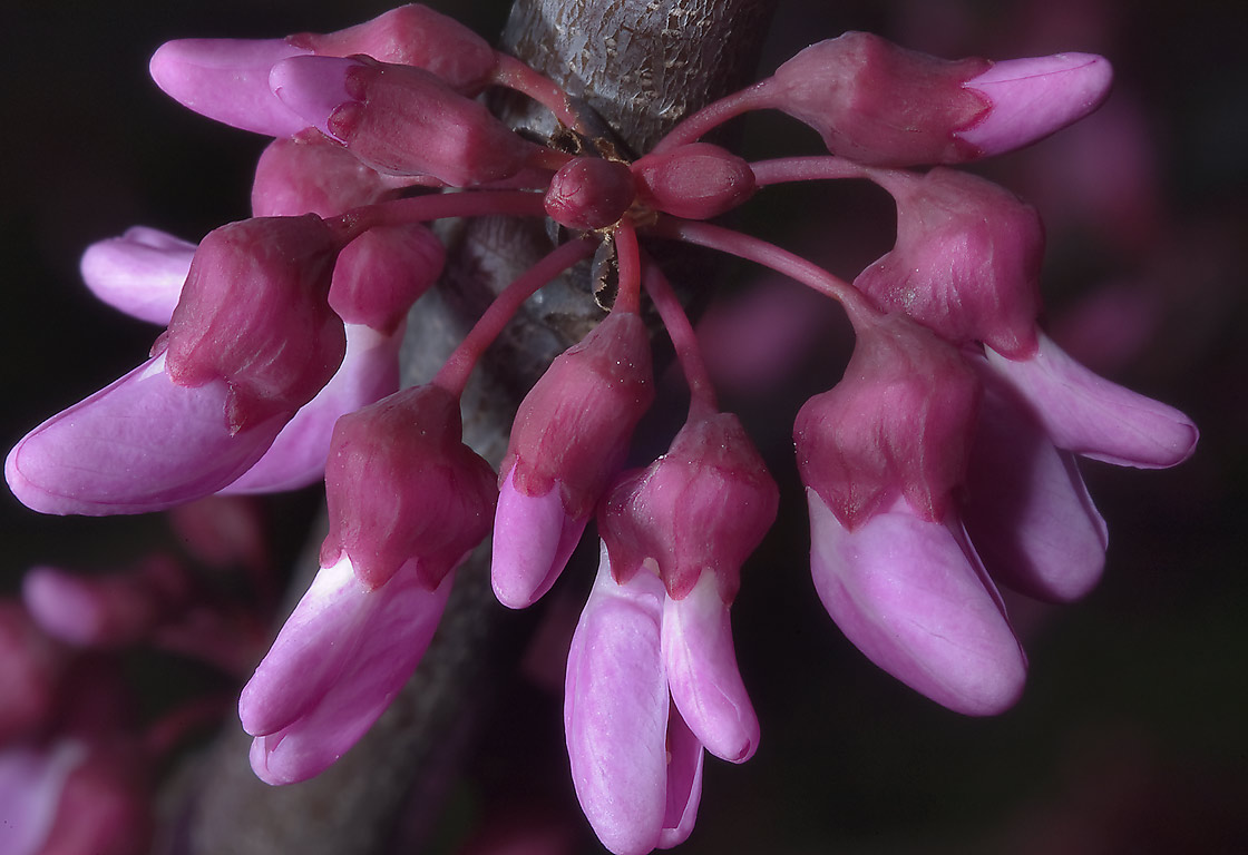 Flowers on redbud tree in TAMU Horticultural...M University. College Station, Texas