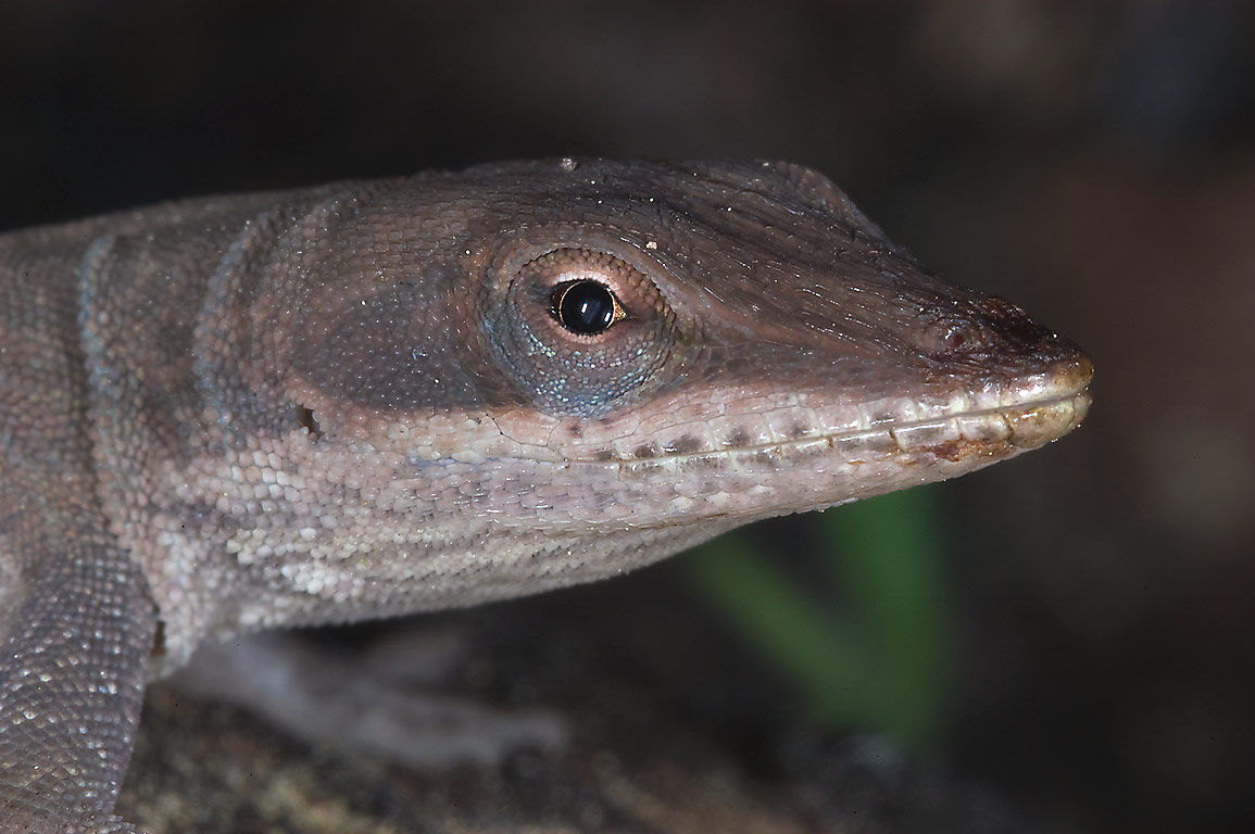 Brown anole lizard in Sam Houston National Forest...Lake Creek Loop Trail. Richards, Texas
