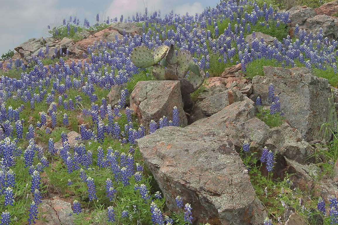 Bluebonnets (lupine) among rocks of Inks Lake...Flats Trail west from Burnet. Texas