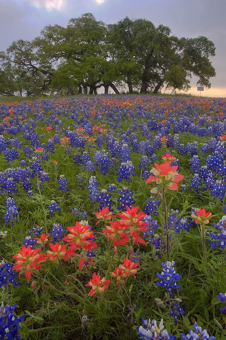 Paintbrush and bluebonnets in Old Baylor Park. Independence, Texas