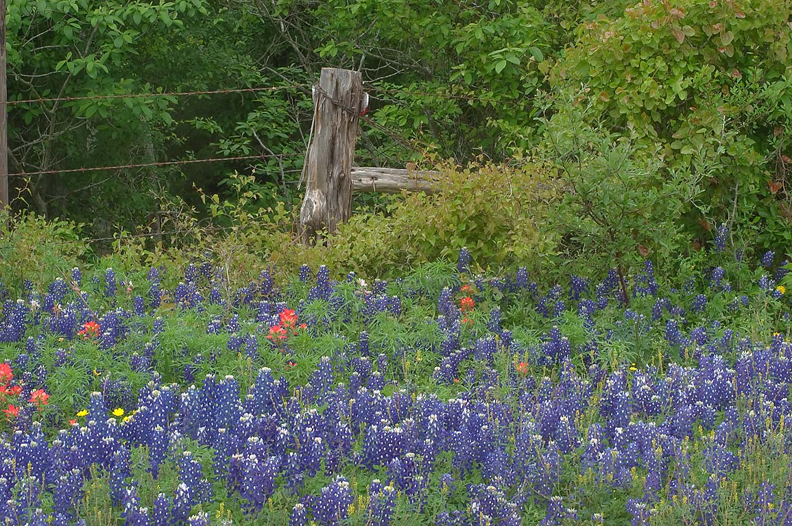 Fence with bluebonnets near Cedar Hill Rd. north from Brenham. Texas