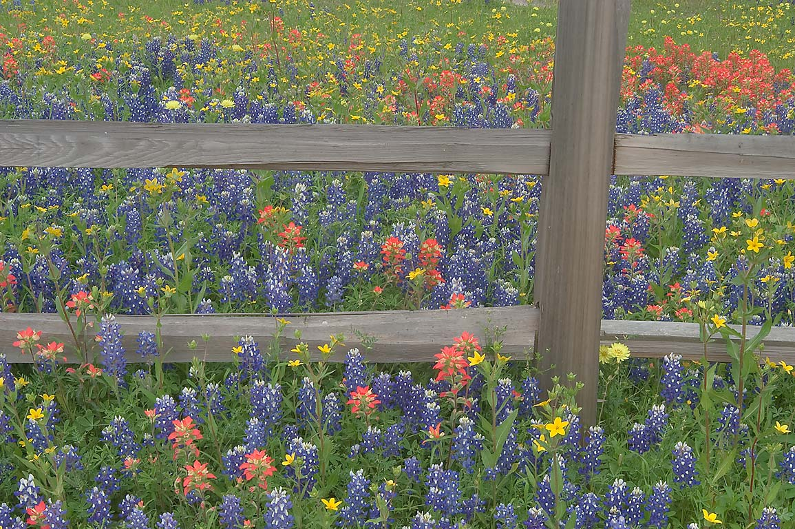 Wooden fence with wildflowers on Christmas Rd. east from Gay Hill. Texas