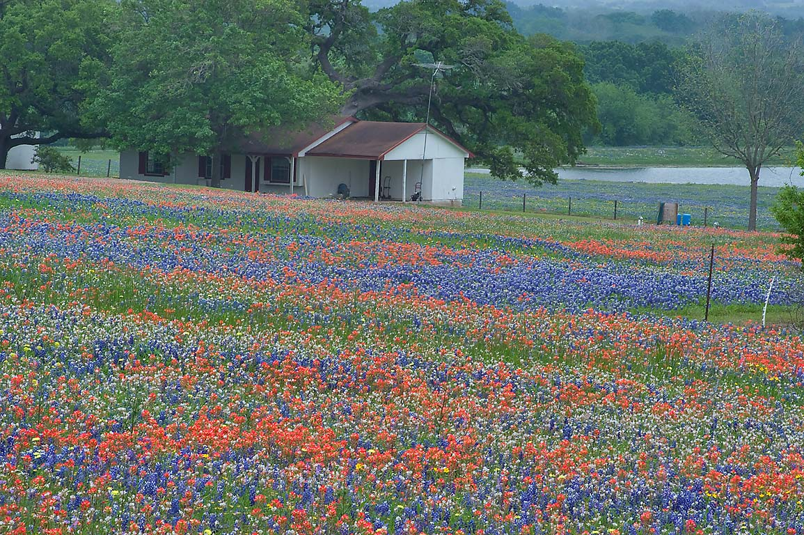 Wildflowers on a farm at 2726 Clay Creek Rd. west from Independence. Texas