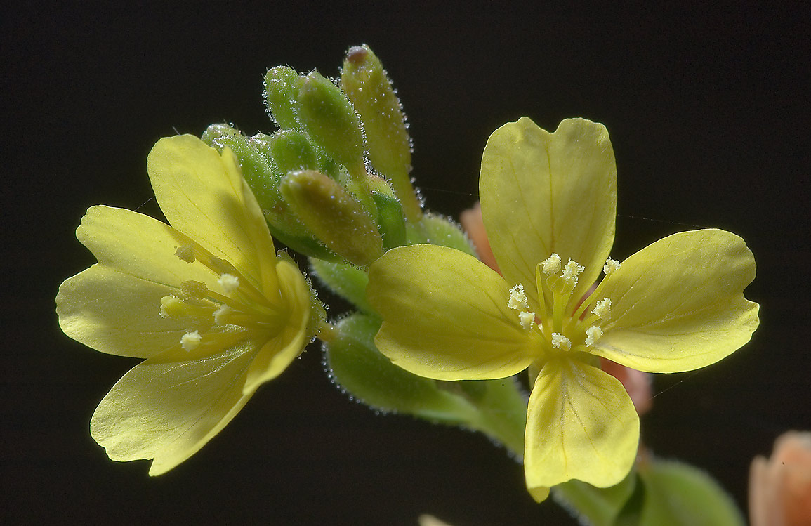 Narrow-leaved evening primrose (thread-leaf...Creek Park. College Station, Texas