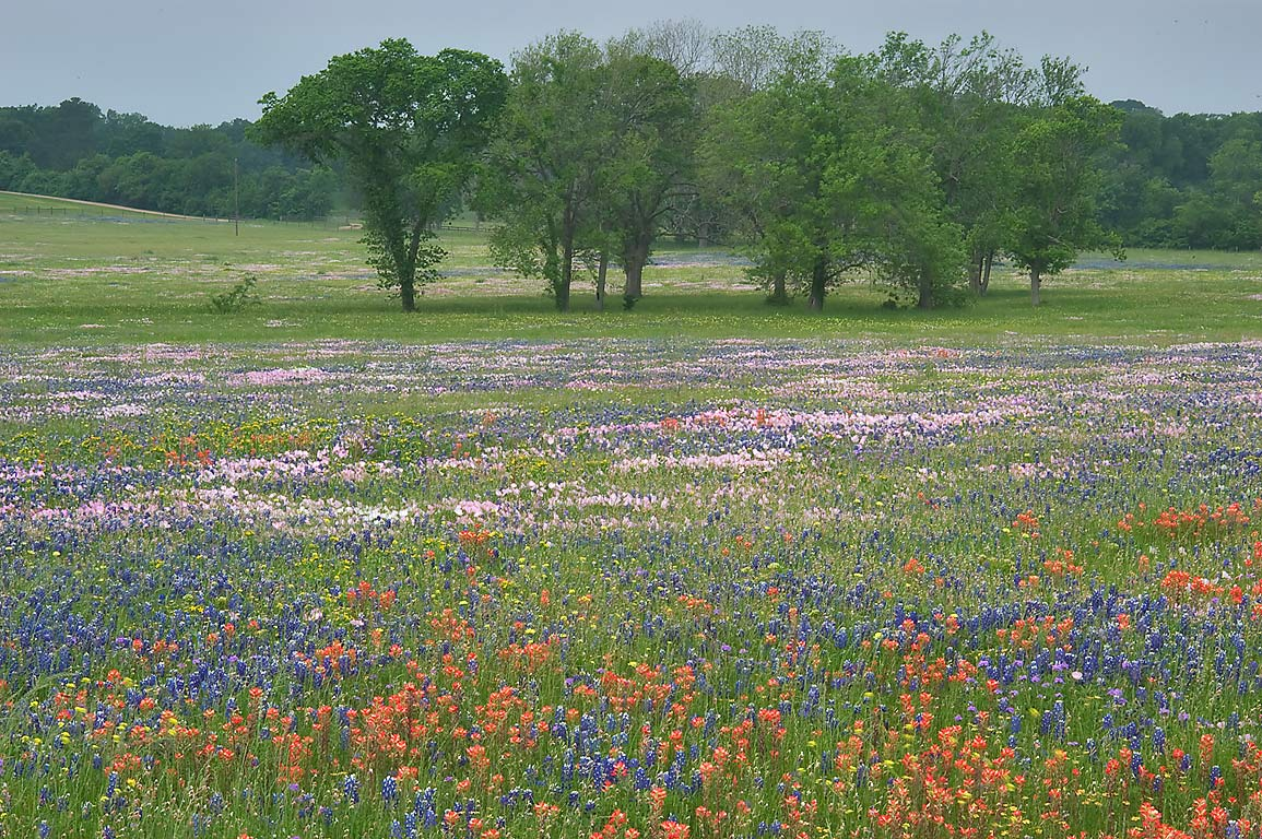 Field of wildflowers from Rd. 390 east from Independence. Texas