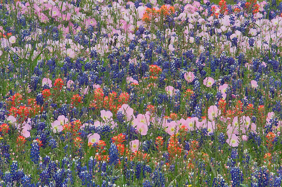 Mixture of blue, red and pink wildflowers from Rd. 390 east from Independence. Texas