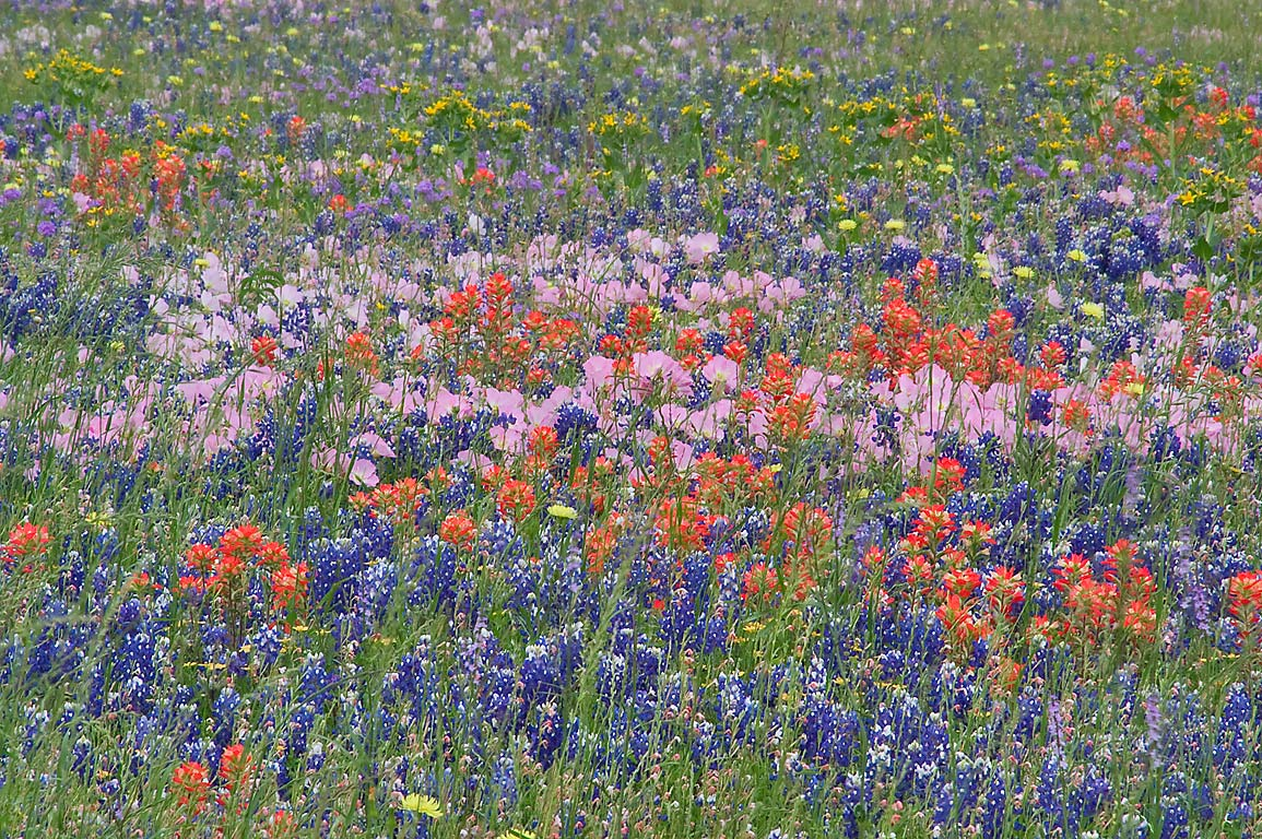 Mixture of various wildflowers from Rd. 390 east from Independence. Texas