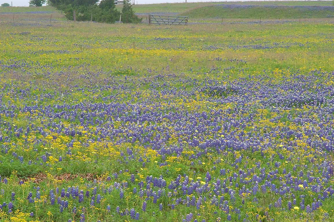 Field with blue and yellow wildflowers from Rd. 390 east from Independence. Texas