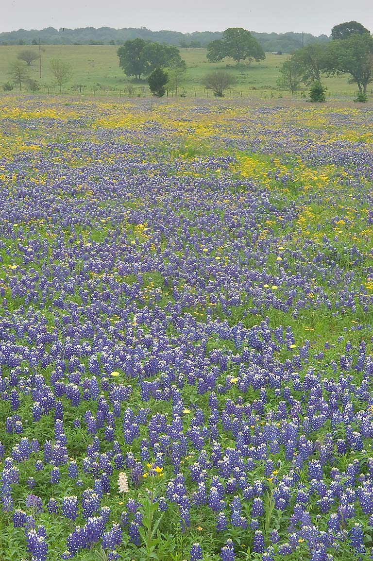 Bluebonnets from Rd. 390 east from Independence. Texas