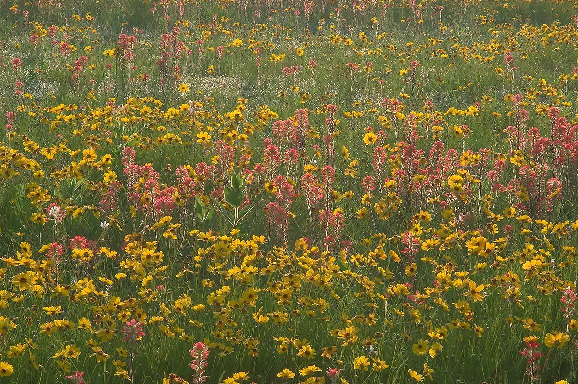 Back lit coreopsis and paintbrush flowers south...Old Baylor Park. Independence, Texas