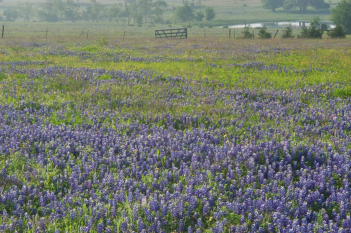 Field of bluebonnets near Rd. 390 east from Independence. Texas