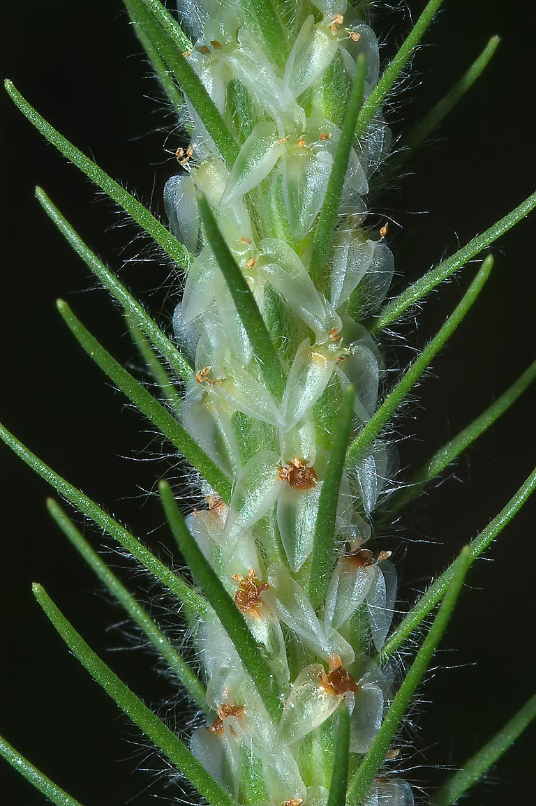 Flower spike of largebracted plantain (Plantago...State Historic Site. Washington, Texas