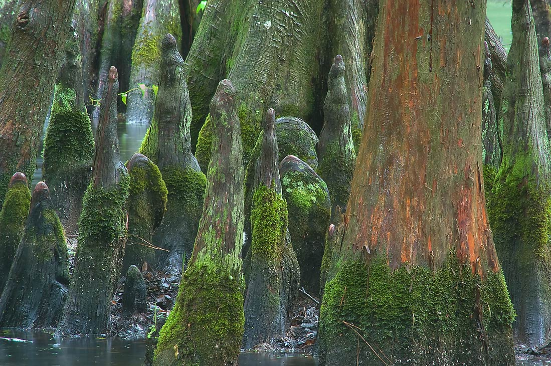 Knees of bald cypress trees in Mercer Arboretum...Gardens. Humble (Houston area), Texas