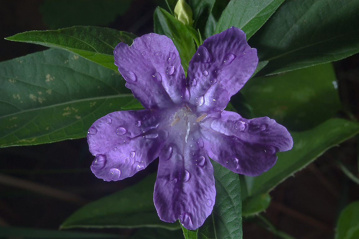 Violet ruella (Ruellia caroliniensis) flower with...near Rd. 149, near Richards. Texas