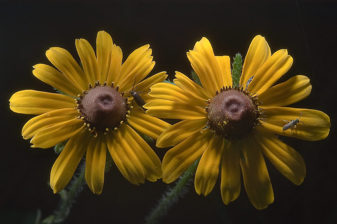 Two flowers of black-eyed susan (Rudbeckia hirta...near Rd. 149, near Richards. Texas