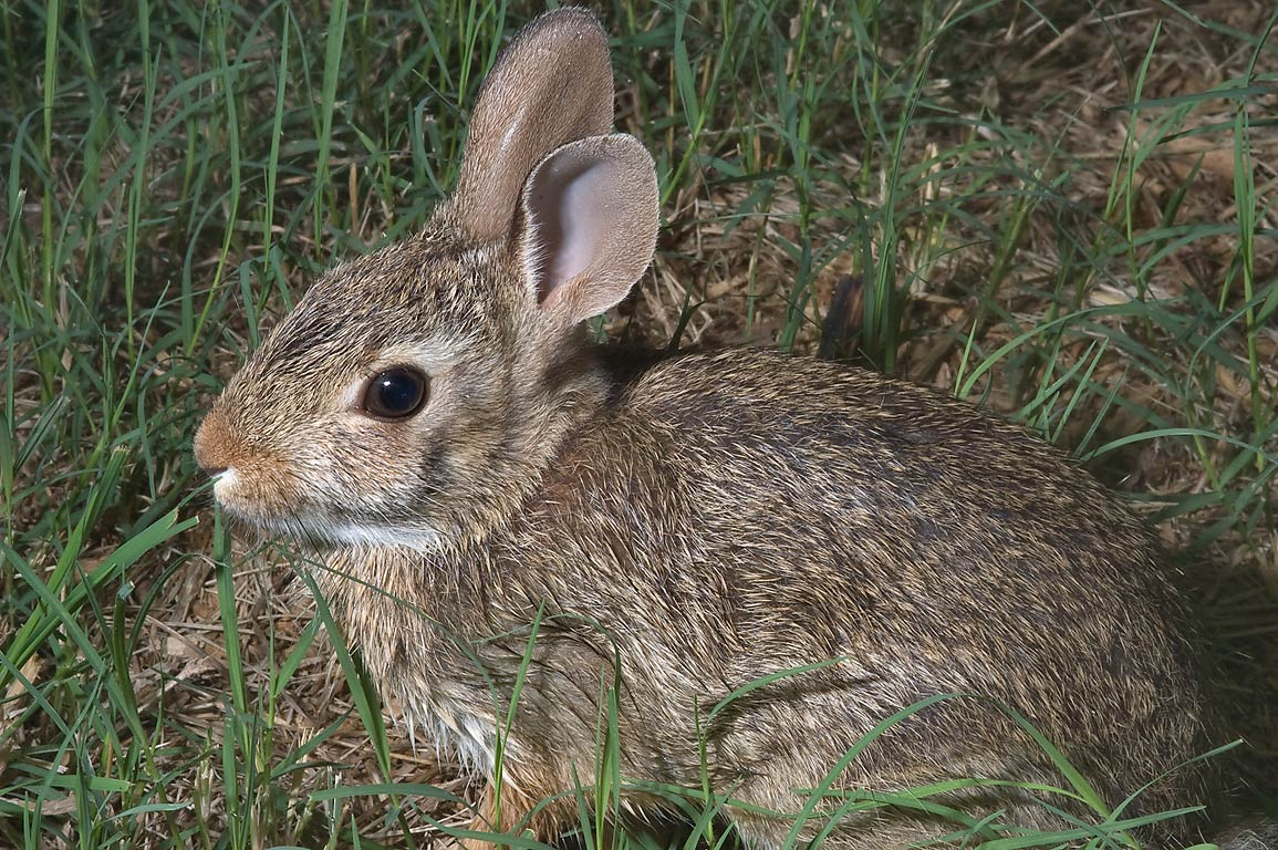 Sitting Eastern cottontail rabbit (Sylvilagus...M University. College Station, Texas